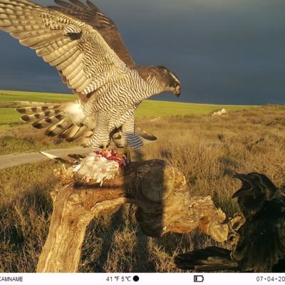 foto aves rapaces combatiendo por carroña con camara kg790